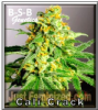 B-S-B Genetics Cali Crack Female 5 Seeds